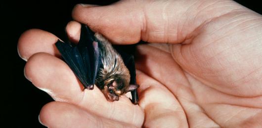 Il fungo-killer che minaccia i pipistrelli