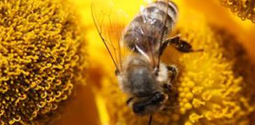 Guerra ai pesticidi per salvare le api