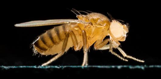 Il laser che fa innamorare le mosche