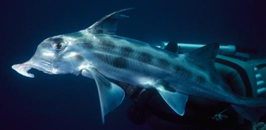 Perché gli squali non hanno le ossa