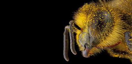 Attenti all'ape untore