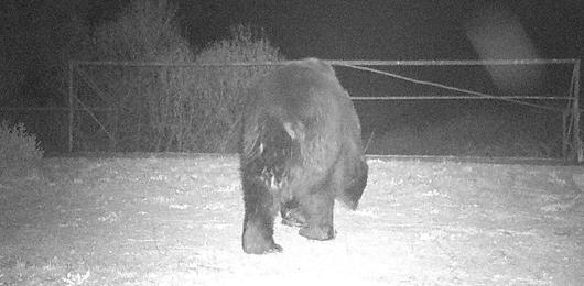 Un orso a Chernobyl