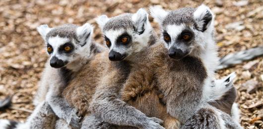 Un piano di emergenza per i lemuri