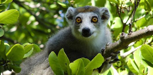 La disperata lotta per la sopravvivenza dei lemuri