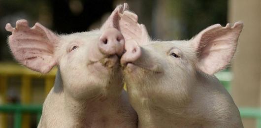 Creato il primo maiale OGM immune alle malattie