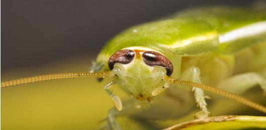 Una nuova generazione di antibiotici grazie agli scarafaggi